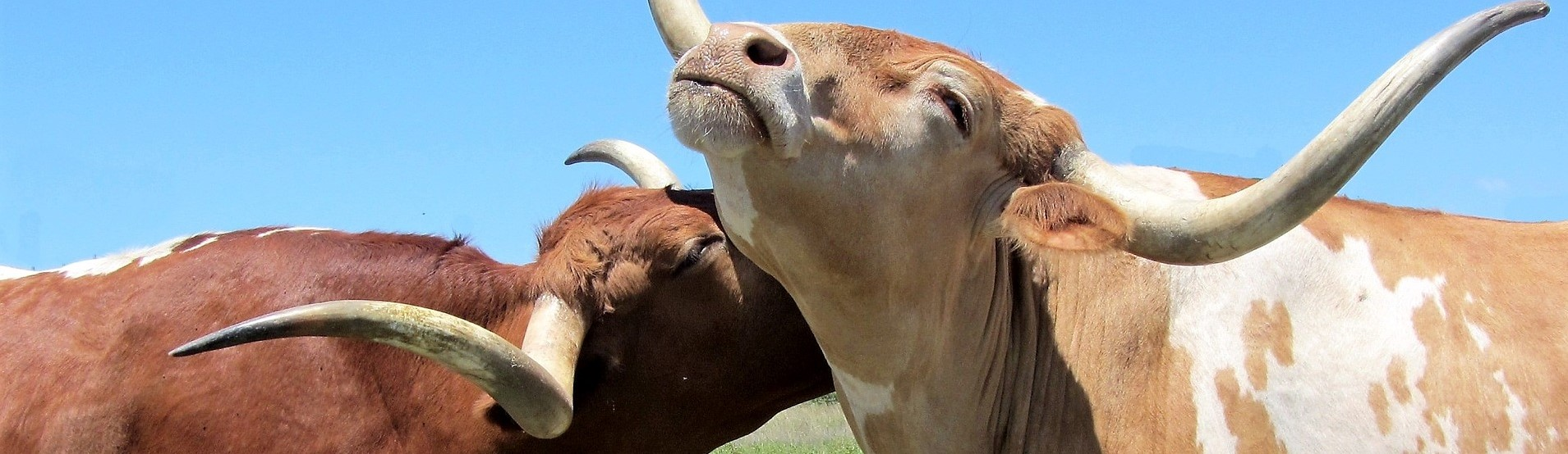 Nuorten härkien kiima